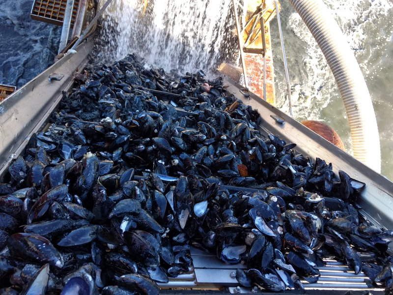 A large table is completely filled with blue mussels (which appear black) that have recently been caught by local fishermen.