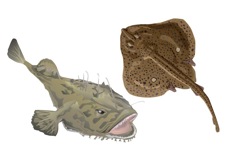This image depicts a light brown monkfish (top left) and a darker brown winter skate (bottom right) above gray concentric circles.